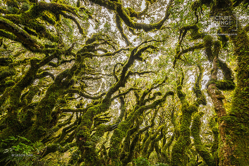 A gorgeous view to the forest canopy from amongst the mysterious twisted trunks of the Goblin Forest, by Queenstown based landsacpe photographer Jason Law.