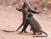 Blue monkeys put on a nice show near the road in Lake Manyara National Park.