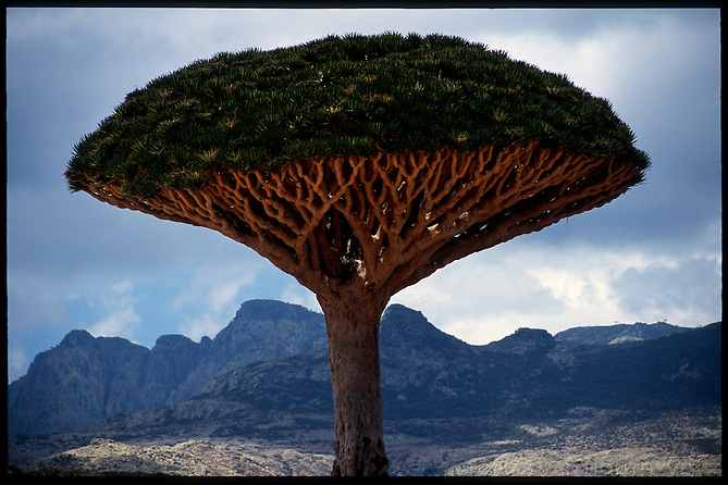 A Dragon's Blood Tree (Dracaena cinnabari) is seen in front of the Skund mountains on the island of Socotra, Yemen on Wednesday, 18 May 2005.<br />