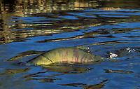 "CHUM SALMON aka ""dog"" salmon..Range from California to Arctic Coast..Migration. (Oncorhynchus keta)."