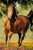 Arabian stallion CAMELOT canters to camera. Vertical. horse, horses, photo montage, animals, special effects Freedom.