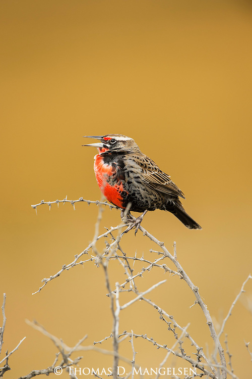 A Long-Tailed Meadowlark perches on a thorny bush in Patagonia, Chile.