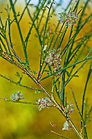 Ginster-Gallmilbe, Ginster-Gallmilbe, Galle, Gallen an Besenginster, Ginster, Aceria genistae, broom gall mite, Scotch broom gall mite