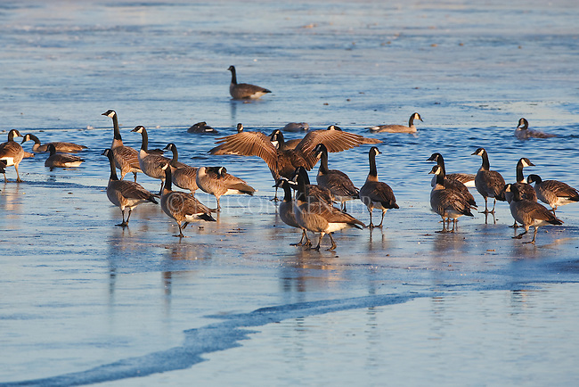 Canada Geese on frozen pond in winter