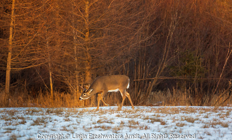 White-tailed buck chasing after does in a snow-covered field.