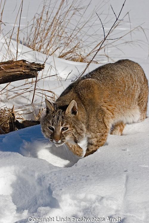 Bobcat walking in the snow.  Minnesota.