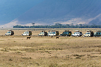 Tanzania. Ngorongoro Crater, Tourist Vehicles Lined up to See Three Lions.