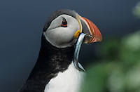 Atlantic Puffin, Fratercula arctica, adult with sandeels in beak, Hornoya Nature Reserve, Vardo, Norway, Europe