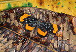 Heliconid butterfly, Napo River region, Peru