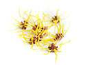 Witch hazel flowers, studio shot with white background.