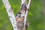 Eastern kingbird feeding chicks in northern Wisconsin.
