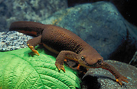 ROUGH SKINNED NEWT..Aquatic from fall to spring..Pacific Coast of North America, Alaska to California..Tariche granulosa.