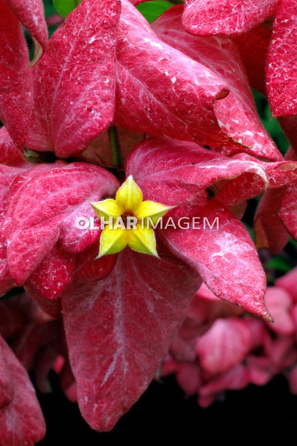 Flores. Mussaenda-vermelha. (Mussaenda erythrophylla). SP. Foto de Manuel Lourenço.
