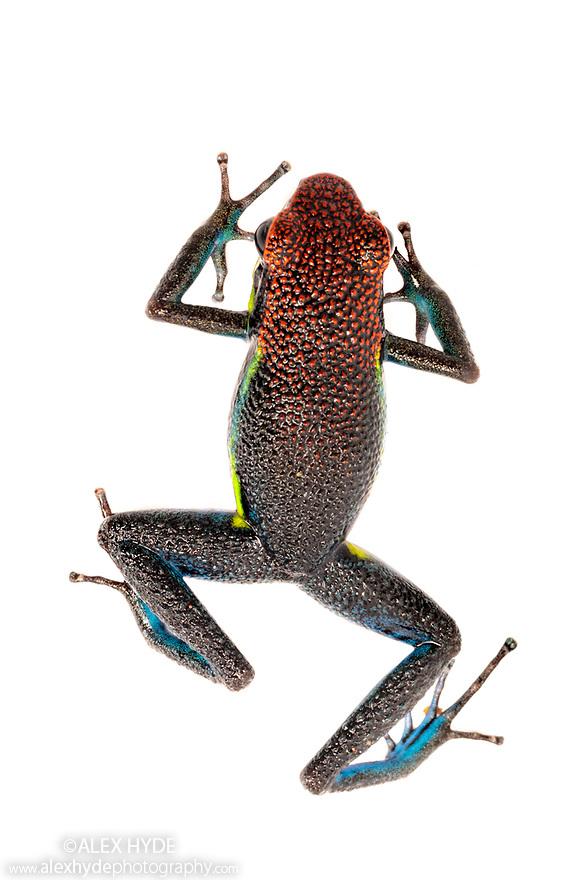 Manu Poison Frog (Ameerega macero) photographed in mobile field studio on a white background. Manu Biosphere Reserve, Amazonia, Peru. November.