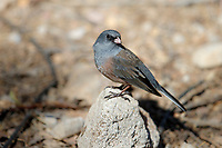 Dark-eyed Junco (Junco hyemalis mearnsi), Pink-sided subspecies, foraging in Madera Canyon, Green Valley, Arizona.