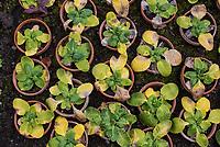 Primelsetzlinge (Primula japonica) im Herbst.<br /> 24.10.2020, Berlin<br /> Copyright: Christian-Ditsch.de