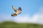 Lesser ketrel (Falco naumanni) in flight. Ndutu area, Ngorongoro Conservation Area NCA / Serengeti National Park, Tanzania.