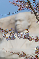 Yoshino cherry tree blossoms frame the face of Martin Luther King, Jr. at the MLK Memorial in Washington, DC.