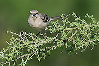 Northern Mockingbird (Mimus polyglottos), adult, Laredo, Webb County, South Texas, USA
