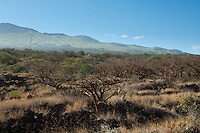 Wiliwili trees with the slopes of Haleakala in the distance, Maui.