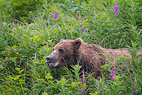 Not sure why this female Coastal Brown Bear (Ursus arctos) seemed to be foaming at the mouth.  She seemed healthy and had two cubs nursing on her.  Here she's enjoying a run through a berry patch off the coast of Kukak Bay, and she's about to devour a freshly-picked, ripe berry.  Katmai National Park, Alaska.
