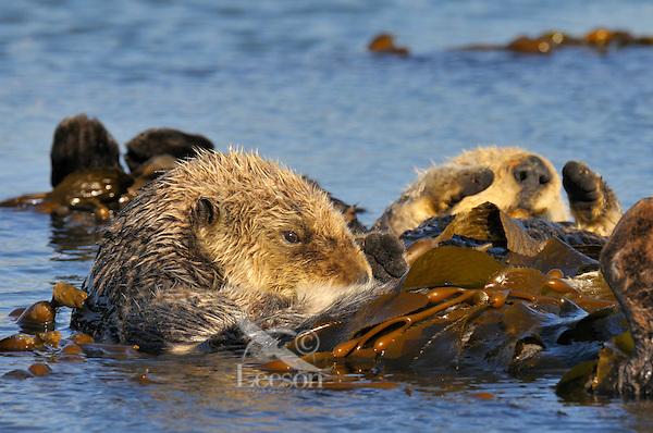 Sea Otter (Enhydra lutris) wrapped in kelp.