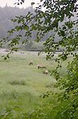 Herd of Wild Moose