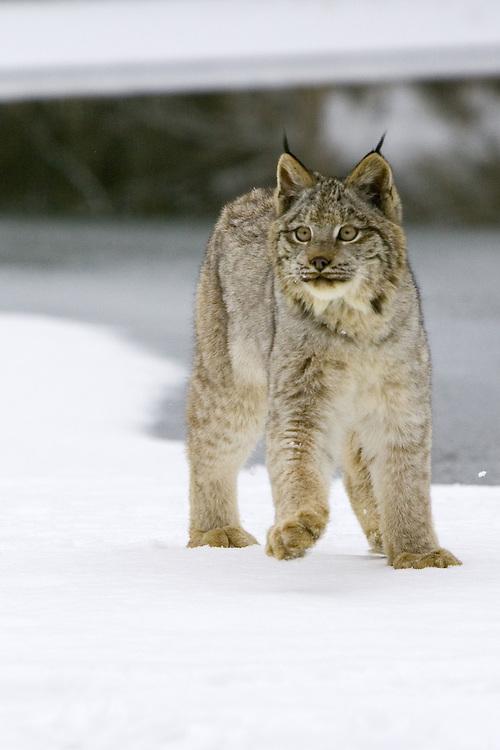 Canada Lynx walking along the shore of a frozen pond - CA