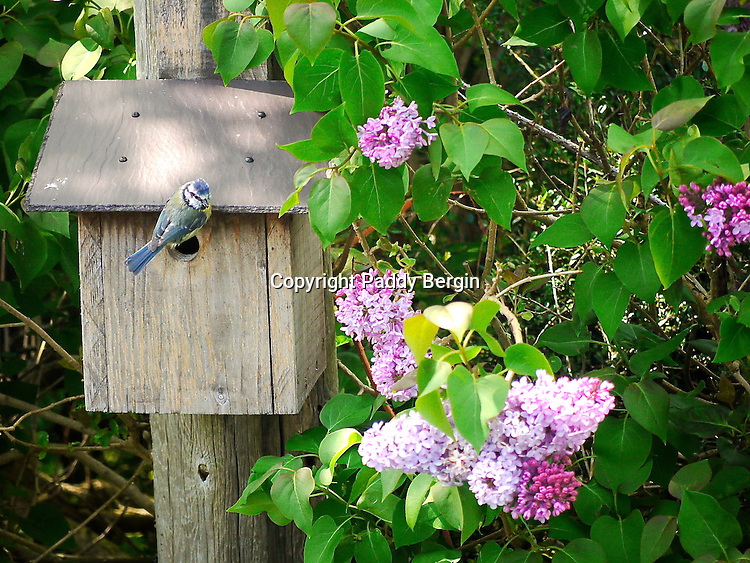 A Tit sits on its nesting box where it is rearing its young. A Lilac tree is in flower next to the nesting box.<br /> <br /> Stock Photo by Paddy Bergin