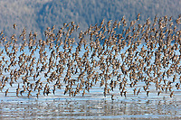 Western sandpipers flock to the shores of Hartney Bay, Copper River Delta, Prince William Sound, Alaska, to refuel during their migration to summer nesting grounds.