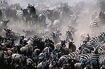 Plains Zebra and Common Wildebeest herds, Masai Mara National Reserve, Kenya