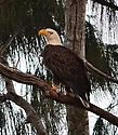 Bald Eagles sighted at Broward County, Pembroke Pines Florida