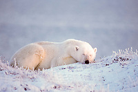 polar bear, Ursus maritimus, sleeping on the frozen coastal plain, 1002 area of the Arctic National Wildlife Refuge, Alaska, polar bear, Ursus maritimus