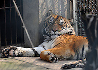 "Tiger number ""100"" that has a paralysed neck in a cage at the Xiongsen Tiger and Bear Park in Guilin China. The park has farmed 1500 tigers and sells an illegal tiger bone wine to tourists that visit the park."