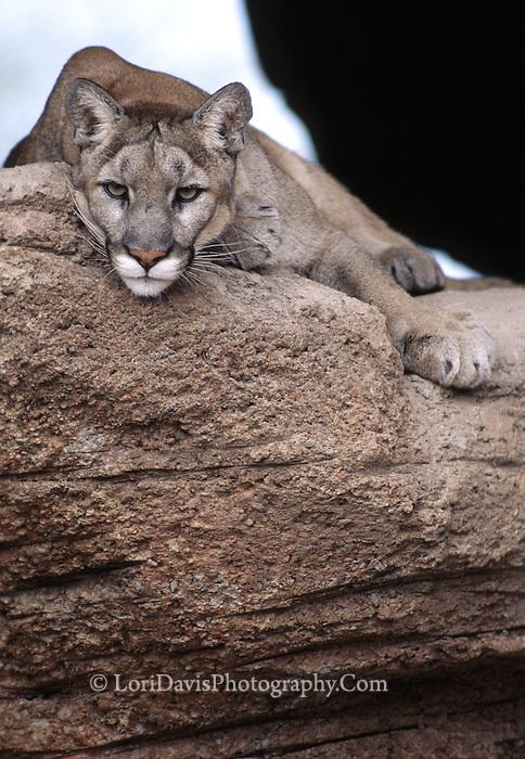Mt. Lion on Ledge  #C3
