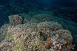 Coral covered reefs, Tubbataha