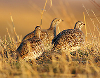 Three female sharp-tailed grouse. The reason for all the dancing by the males at the lek.
