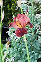 Iris germanica 'Quechee'. Nature Ascending garden, designed by Angus Thompson and Jane Brockbank, gold medal winner, RHS Chelsea Flower Show 2009.