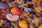 Fall leaves floating on the shore of a northern Wisconsin wetland.