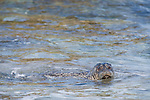 Children's Pool, La Jolla, California; a Harbor Seal (Phoca vitulina) swimming in shallow water as it approaches the sandy beach