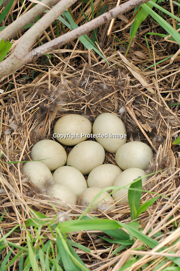 00330-081.03 Mallard Duck nest and eggs lined with typical down and feathers is in grassy area.  Hunt, breed, egg, female, prairie.  V5E1