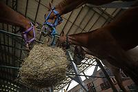 VILLAVICENCIO - COLOMBIA. 13-10-2018: Caballos alimentandose durante el 22 encuentro Mundial de Coleo en Villavicencio, Colombia realizado entre el 11 y el 15 de octubre de 2018. / Horses feeding during the 22 version of the World  Meeting of Coleo that takes place in Villavicencio, Colombia between 11 to 15 of October, 2018. Photo: VizzorImage / Gabriel Aponte / Staff