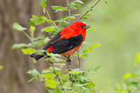 Male Scarlet Tanager (Piranga olivacea) eating wild gooseberry buds.  Great Lakes Region, May.