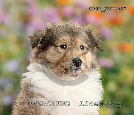 Kim, ANIMALS, dogs, photos+++++,GBJBWP38057,#a# Hunde, perros