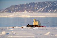 polar bear, Ursus maritimus, feeding on a narwhal, on ice floe edge, Arctic Ocean, Canada