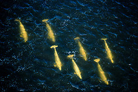 aerial of beluga whales, Delphinapterus leucas, swimming in peaty water at the mouth of river in Hudson Bay, Manitoba, Canada, Arctic