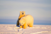 polar bear, Ursus maritimus, cubs, Arctic National Wildlife Refuge, North Slope of Alaska, polar bear, Ursus maritimus