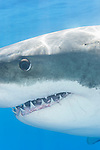Guadalupe Island, Baja California, Mexico; a tight, vertical head shot of a Great White Shark (Carcharodon carcharias)