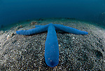 The Blue Starfish is also known as the Comet Sea Star, Blue Sea Star, or Blue Linckia Sea Star, is found in the sunny areas of the reef and reef fringe, constantly foraging for food.