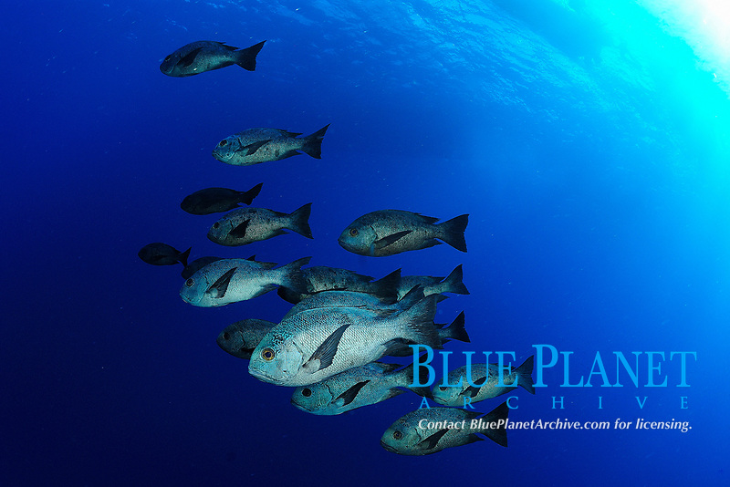 School of black and white snapper fish, latin name Macolor niger, Saint John's reef, Red Sea, Egypt